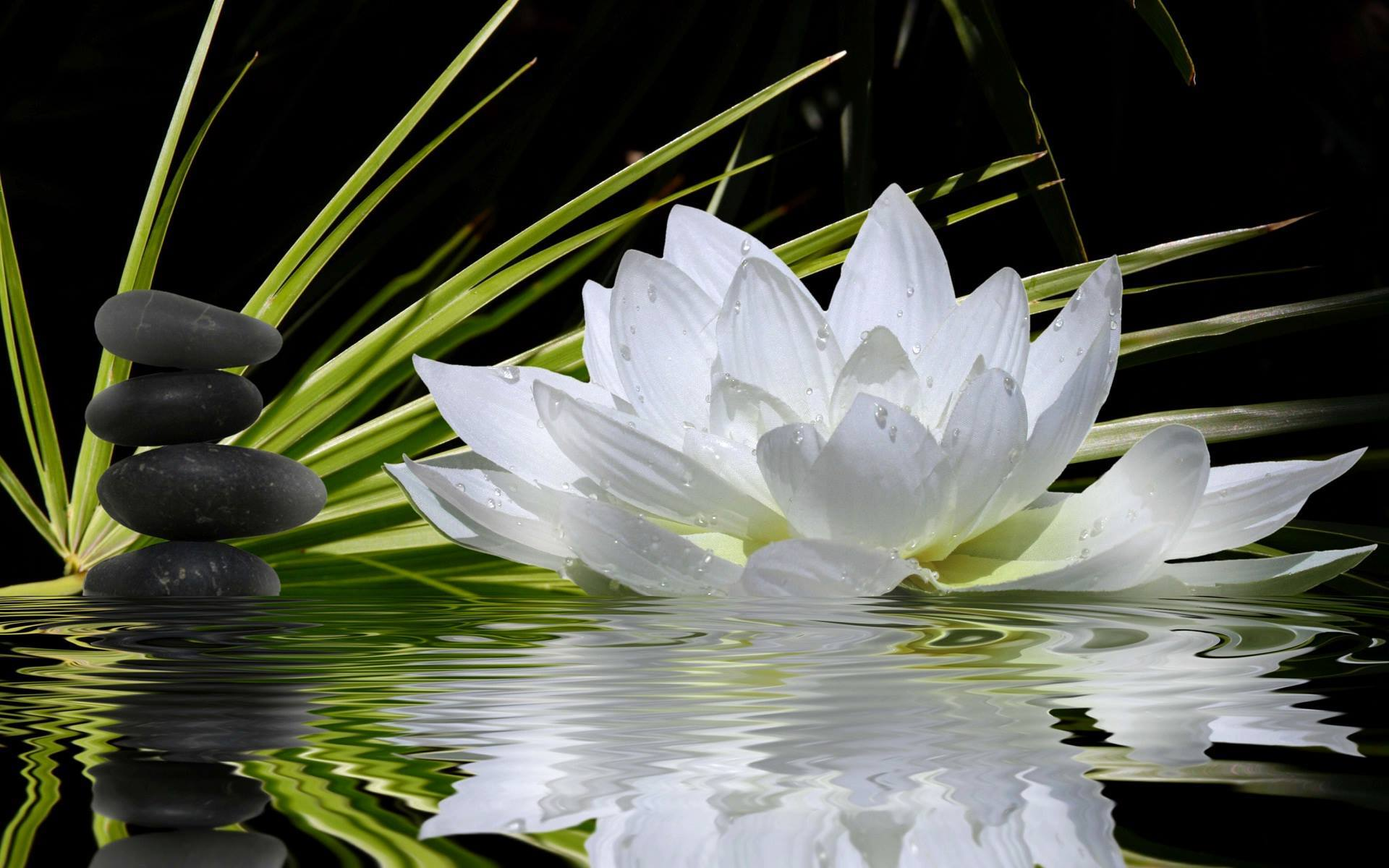 Herenow4u article archive 02092016 acharya shiv muni news the inner lotus too has never seen a drop of mud or dirty water it is pure and bright and beautiful the lotus flower a perfect analogy of the human izmirmasajfo