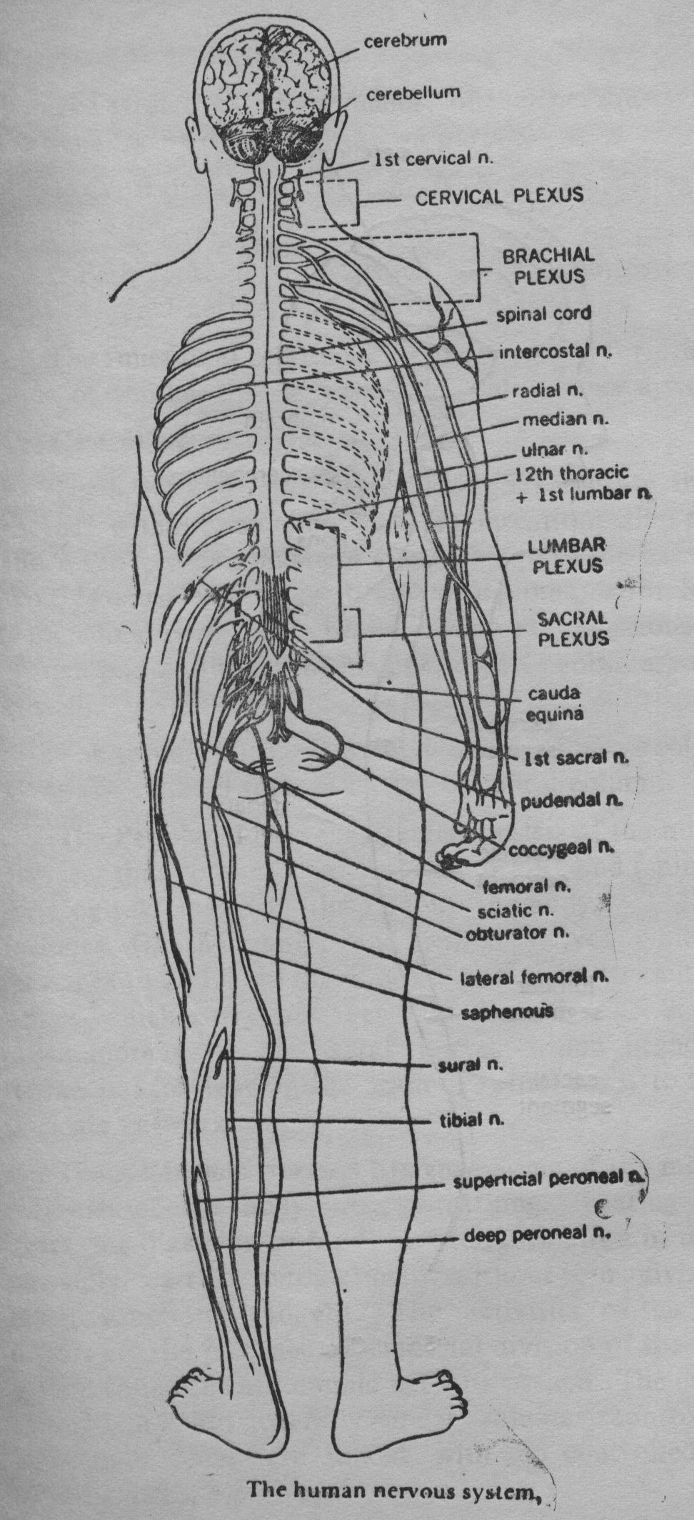 Herenow4u publications books online preksha dhyana human preksha dhyana human body part i anatomy and physiology 4 the nervous system ccuart Image collections